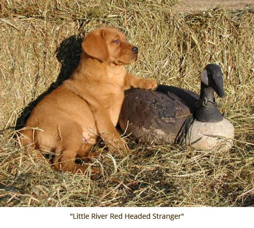 NZKC Dog Breeding Kennel Ltd :: Fox Red Labradors