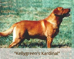 NZKC Dog Breeding Kennel Ltd :: Fox Red Labradors